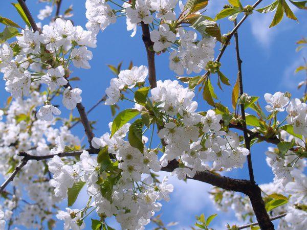 cherry-blossom-476583_960_720